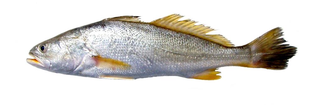 Pescado-Corvina